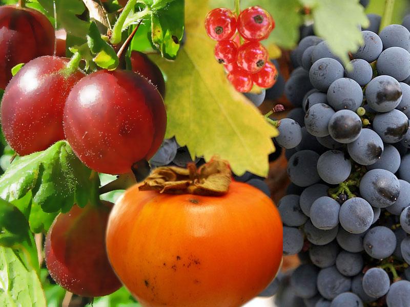 Berry - Wikipedia, the free encyclopedia