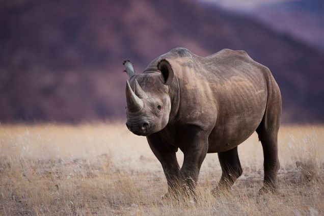 Rhino Hunt Auction Stirs More Controversy