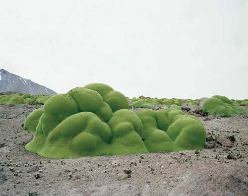 Llareta,  3,000 years, Acatama Desert, Chile