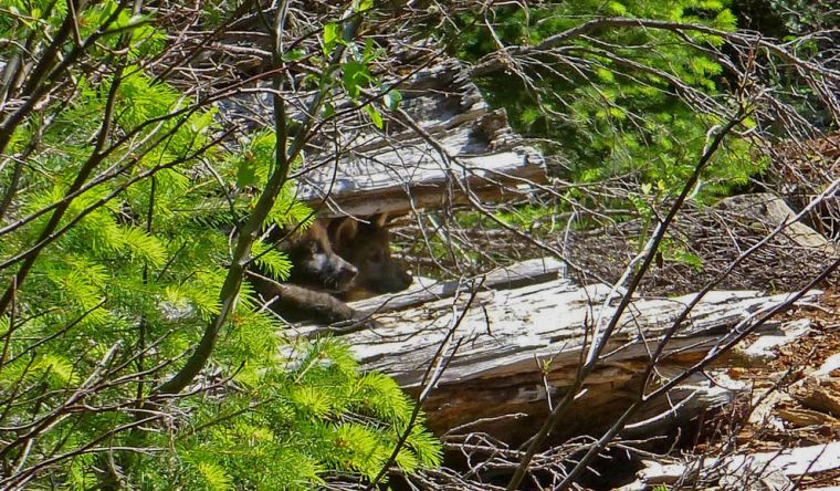 No Longer a Loner, Westernmost Wolf in Lower 48 States Is a Dad