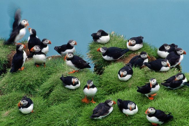 Icelands Seabird Colonies Are Vanishing, With