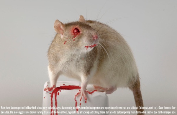 Research shows the rats of NYC are infected with at least 18 new viruses