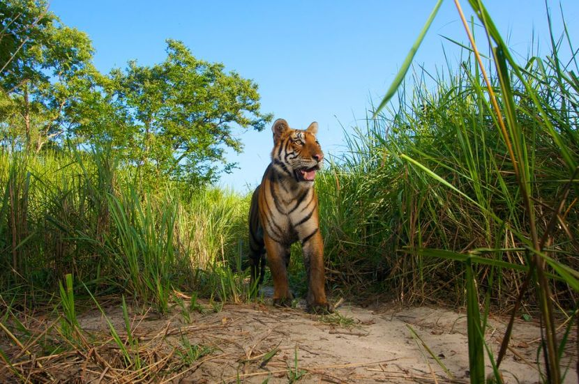 India's Tigers May Be Rebounding, in Rare Success for Endangered Species