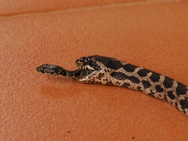 Freshly Eaten Snake Makes Amazing Escape—Find Out How