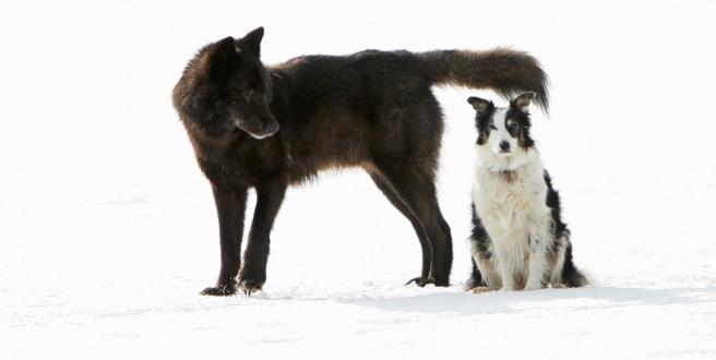How a Wolf Named Romeo Won Hearts in an Alaska Suburb