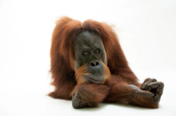 10 of Our Favorite Orangutan Pictures