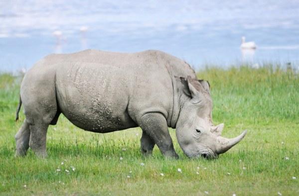 rare-white-rhino-dies-141020-670