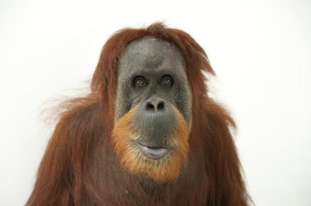 orangutans_01-ngsversion-1485214204992-adapt-676-1