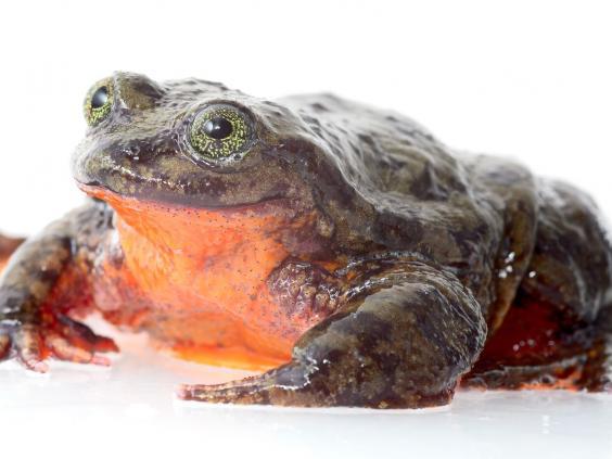 romeo-frog-full