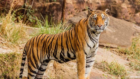 1539718253425 An Indian tiger in the wild Royal Bengal tiger 27466438332