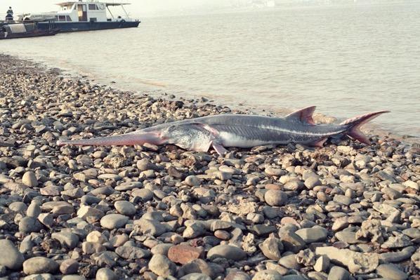 01 chinese paddlefish unknown 1 adapt 1900 1